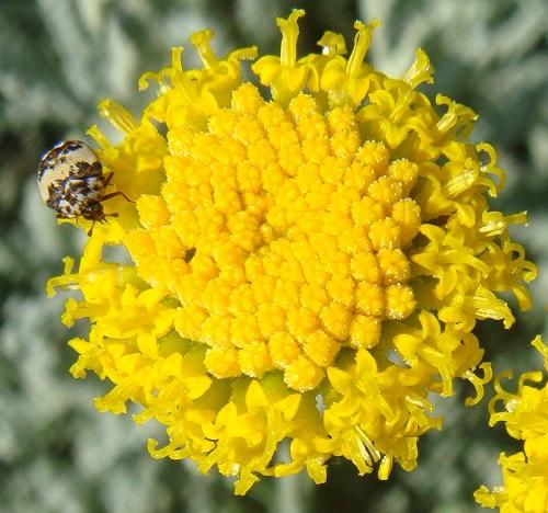 Insecto camuflado sobre flor amarilla